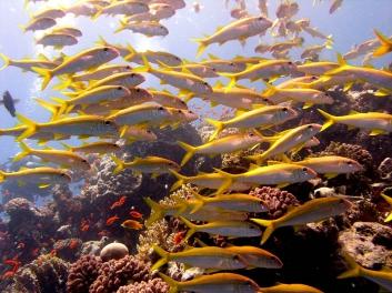 2007 Aegypten Lahami Bay, Meeresbarben auf Riffdach