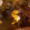 Pigmy Seahorse – Pygmäenseepferdchen