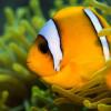 Clownfische – Nemos