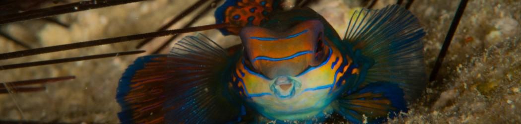 2012 Featured Mandarin Fisch