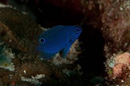 Blauer Fisch, Raja Ampat 2010
