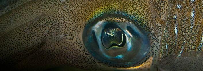 Tintenfisch-Sepia