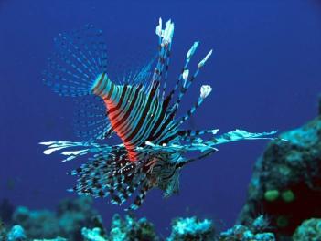 Lion Fish, Fiji 2006