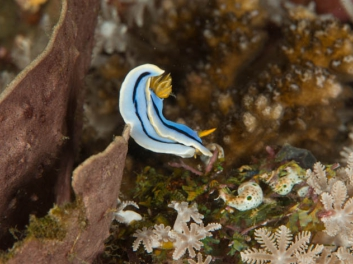 Chromodoris sp 30