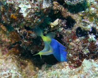 Blue Ribbon Eel, Fiji 2006, Rainbow Reef